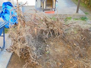 土の中から出てきた木の根